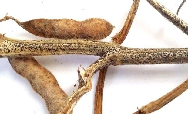 Figura 2. Tallo con picnidios en línea típicos de Phomopsis spp.