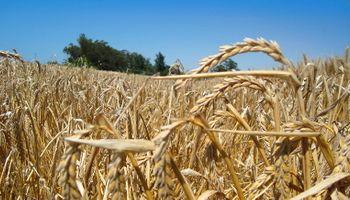 El trigo, con rindes récord: ¿Cómo impactó en la calidad?