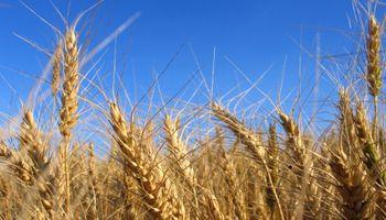 En trigo se prevén bajos niveles de proteína por súper rindes
