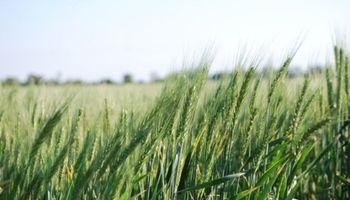 Falta de lluvias: se encienden las alarmas en el trigo y el maíz necesita buenos milímetros para la siembra