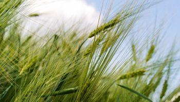 La llegada de lluvias claves para el trigo sigue en suspenso