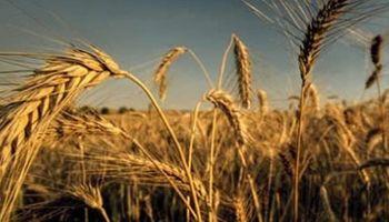 Canada: productores sembrarían menos trigo