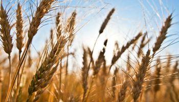 Resta sembrar cerca de un millón de hectáreas de trigo