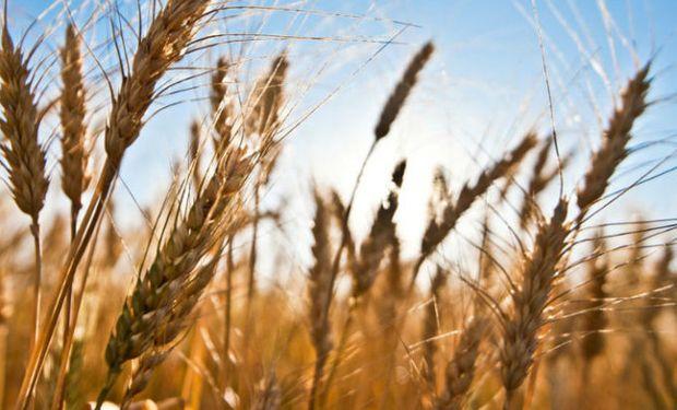 La incorporación de lotes de trigo ha avanzado considerablemente y ya supera las 5.600.000 hectáreas sembradas.