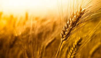 El nuevo fungicida que promete revolucionar el control de roya en trigo