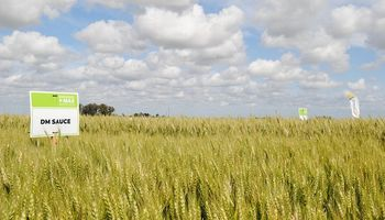 Trigo y fertilización: la premisa sorprendente que dejaron cinco años de experiencias y más de 700 parcelas