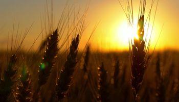 Sube el trigo frente a las preocupaciones sobre el suministro mundial