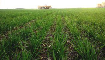 Zona núcleo: el trigo aseguraría un piso de rendimiento de 30 a 40 quintales por hectárea