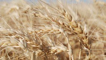A Todo Trigo online: tres mañanas para debatir los horizontes del cultivo