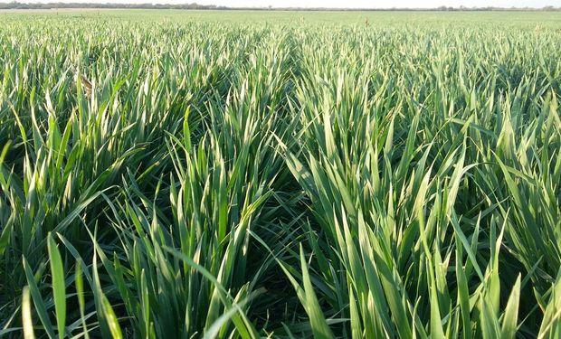La lluvia llegó en el momento justo y salvó al trigo en la región núcleo