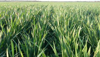 La falta de lluvias amenaza el rendimiento del trigo en zona núcleo: ¿Se podría revertir?
