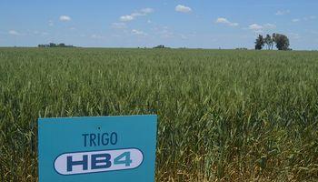 El Gobierno oficializó la aprobación del trigo tolerante a sequía y Bioceres contó cuándo esperan la autorización de Brasil
