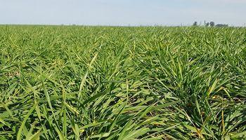 El trigo repuntó en el centro y norte de Santa Fe con más del 80 % de los lotes en estado bueno a muy bueno