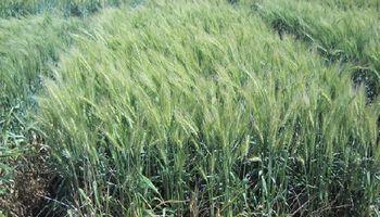 Mejoramiento genético: presentan nuevas variedades de trigo pan