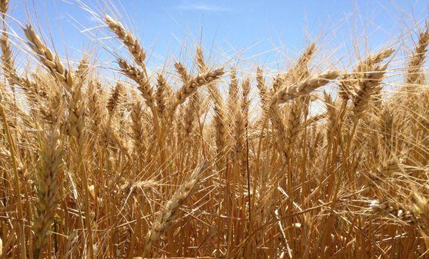 """""""Está siendo destrozada"""": sexta suba consecutiva para el precio del trigo por los problemas para la cosecha"""