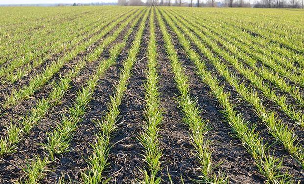 Todo verde, pero seco: los problemas climáticos impulsan al precio del trigo