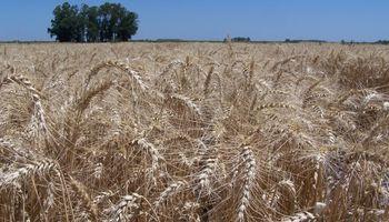 Trigo: restan cosechar lotes tardíos en Buenos Aires y La Pampa