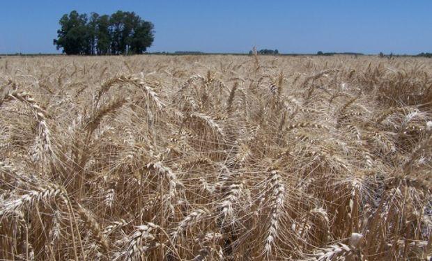 Se cosecharon más de 5,8 millones de hectáreas, dando por finalizada la campaña triguera en la región Norte de La Pampa-Oeste de Buenos Aires.