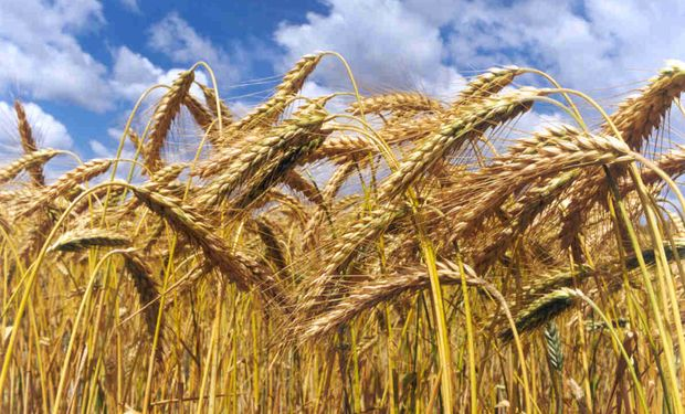 El cepo al trigo se agudiza para unos pocos beneficiados