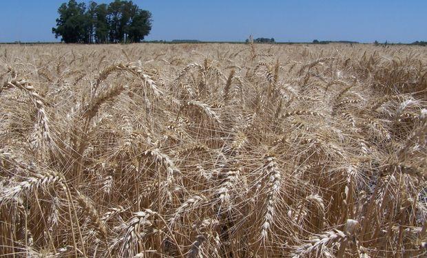 Brasil: la industria se opone al trigo transgénico argentino