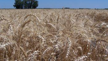 Al voleo vs incorporado: el INTA reveló qué forma de aplicación es mejor en trigo