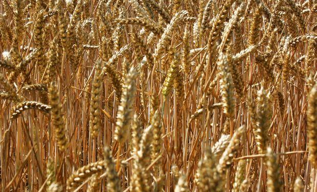 Agricultores de EEUU demandan a Monsanto por trigo transgénico