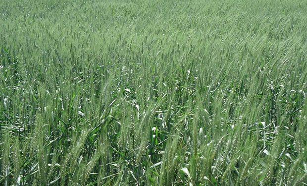 El cultivo de trigo continuó manifestando en un 94 % de lo implantado, estado bueno a muy bueno con muchos lotes en estado excelente.