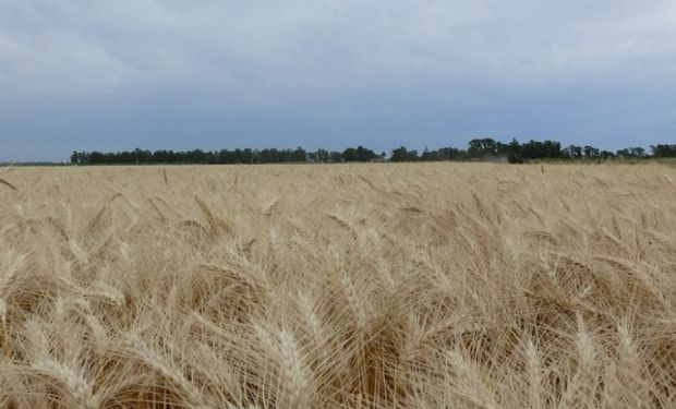 Buenos Aires ofreció su trigo a diferentes mercados internacionales