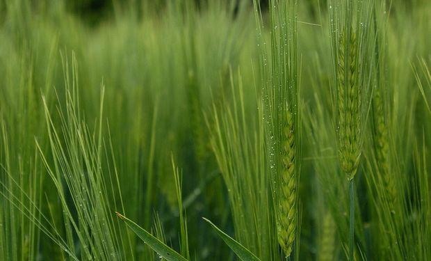 Estan bien los cultivos en la zona triguera por excelencia