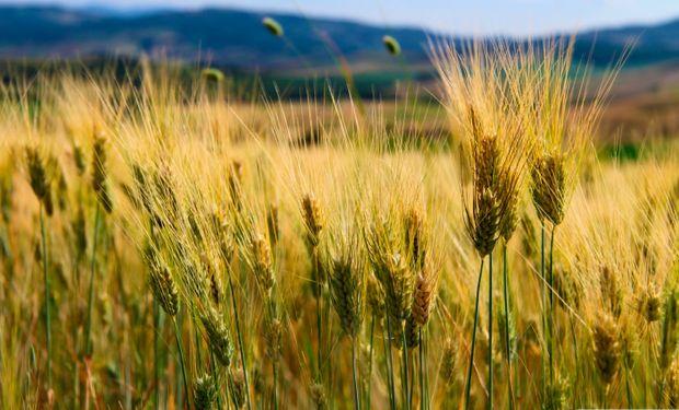Brasil: heladas reducen cosecha de trigo en el estado de Paraná