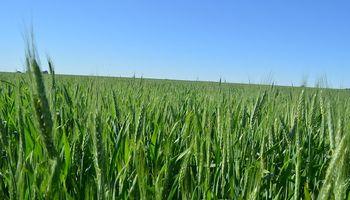 ¿Santo remedio? El análisis de Sima sobre las enfermedades de trigo en la campaña 19/20