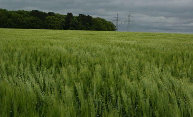 Mas del 20% del trigo esta de regular a malo