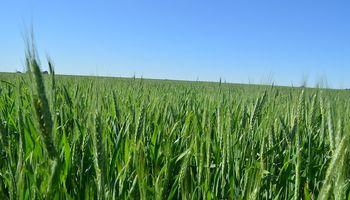 Las ventas de trigo 19/20 son las segundas más altas en 18 años