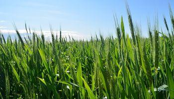 Detectan roya amarilla con mayor antelación en trigo y cebada