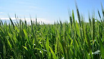 Las ventas de trigo 2018/2019 están un 20,93% adelantadas