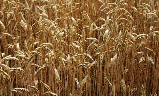 El cupo para exportar trigo equivale a u$s 110 M