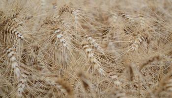 Solicitan el registro de una nueva variedad de trigo pan