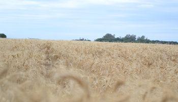 Santa Fe: el clima permite el avance de la cosecha de trigo y los máximos superan los 40 quintales