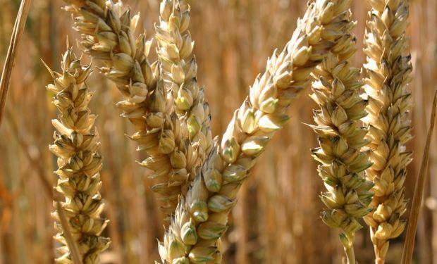 Disminuyen las condiciones de sequía en lotes de trigo en EEUU