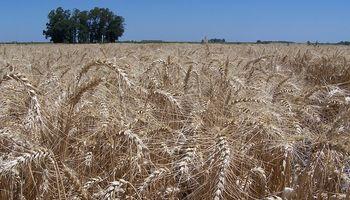 Bioceres adquirió variedades de trigo que tienen hasta un 65 % menos de gluten que una tradicional