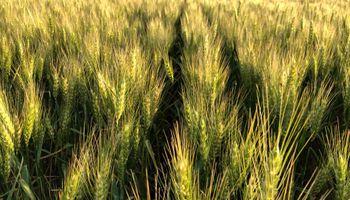 Semillas curadas para evitar manchas en los rendimientos invernales