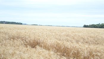 Si el clima lo permite se espera un aumento del área de trigo a nivel local