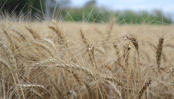 El trigo le ganó a la sequía y la región núcleo produjo un 57% más que la campaña anterior