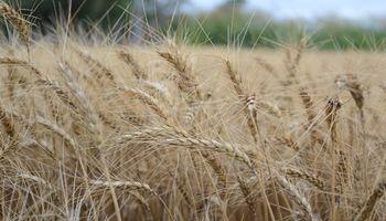 ¿Cómo se adapta el trigo al cambio climático?