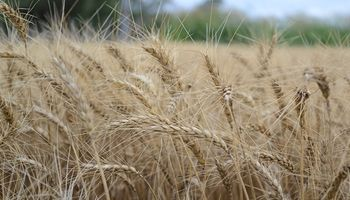Caída de stocks globales y precios firmes para el trigo 2018
