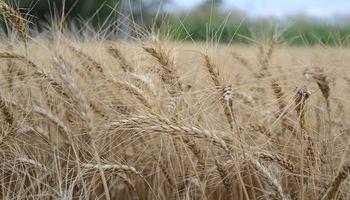 Este invierno permitiría rindes superadores para el trigo 2018/19