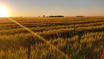 Destacan buenos rendimientos a pesar del clima en el núcleo triguero