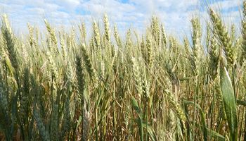 Santa Fe: la intención de siembra de trigo sería de unas 350.000 hectáreas