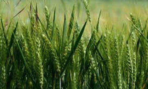 Abrirían las importaciones de trigo después de las elecciones