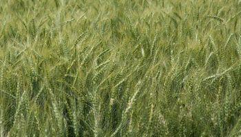 Ensayos en trigo y cebada: científicos ratifican la importancia de proteger al cultivo desde la semilla